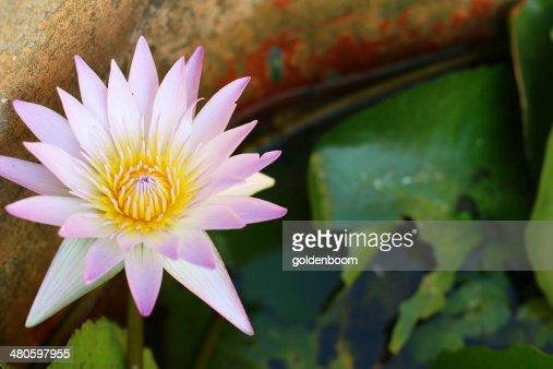 pink lotus flower on the pool : Stock Photo
