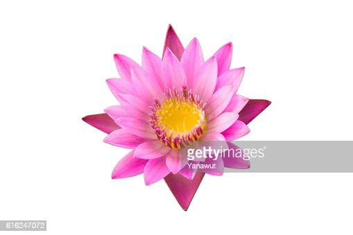 Flor de lótus Rosa : Foto de stock