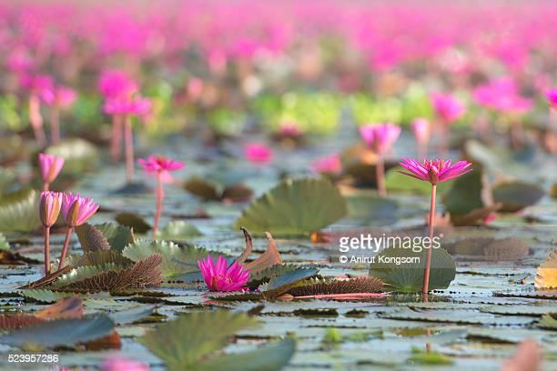 Pink Lotus lake.