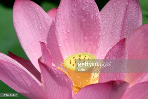 Pink lotus : Stock Photo