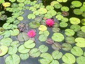 Pink Lotus Water Lilies In Pond