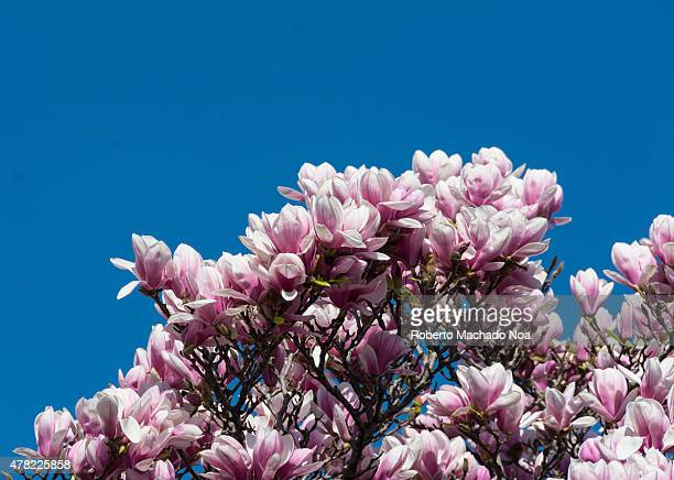Pink magnolia flowers on the top of the tree with blue sky in the background