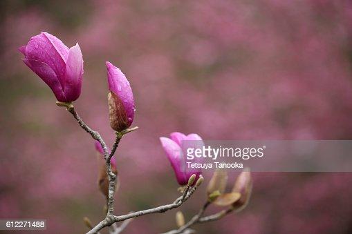 Pink Magnolia, Tokyo Prefecture, Japan