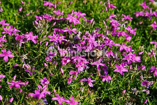 Pink Moss Flowers Stock Photo