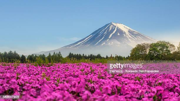 Pink moss with Mt.Fuji