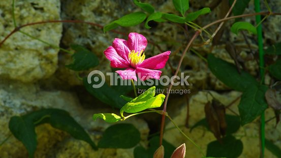 pink nerium oleander flower in florence italy stock photo thinkstock