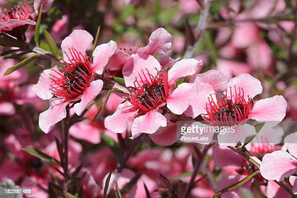 Pink New Zealand Tea tree macro