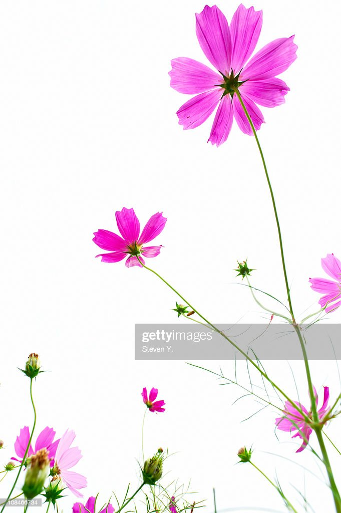 Pink on white : Stock Photo