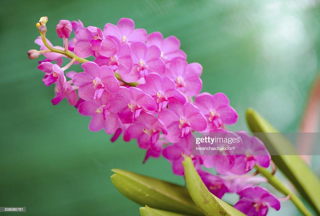 pink orchid flower : Bildbanksbilder
