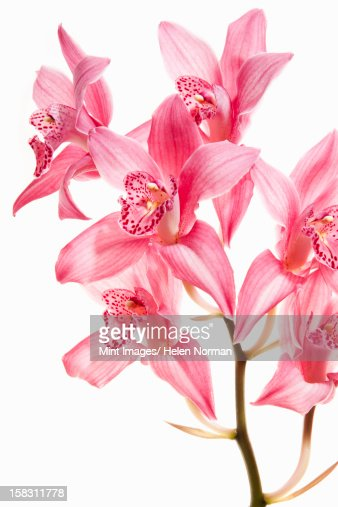 Pink orchid flowers on a flowering stalk. : Stock Photo
