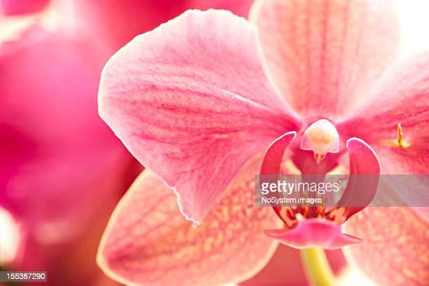 Pink orchid, macro shot