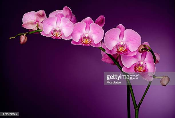 pink orchid on purple backgorund