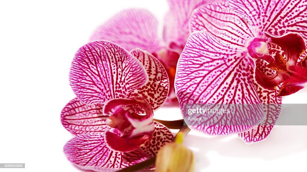 Pink orchid Phalaenopsis. : Stock Photo