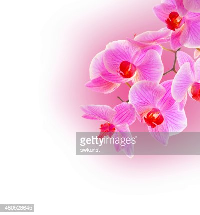 Pink orchid . : Stock Photo