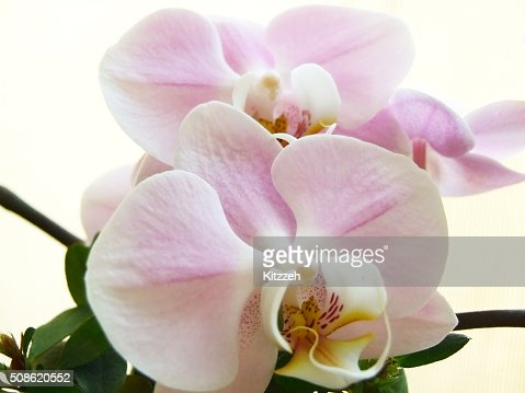 Pink orchid : Stock Photo