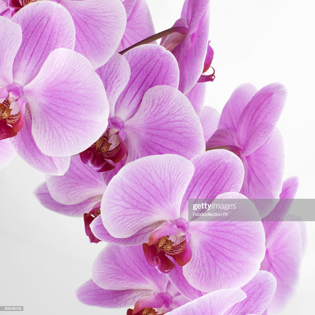 pink orchids close up - photo #21
