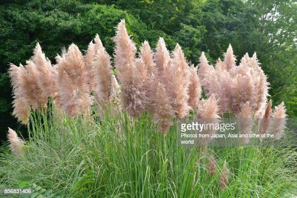 Pink Pampas Grass / Cortaderia selloana