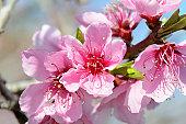 Pink peach blossoms, Prunus persica. San Jose, California, USA.