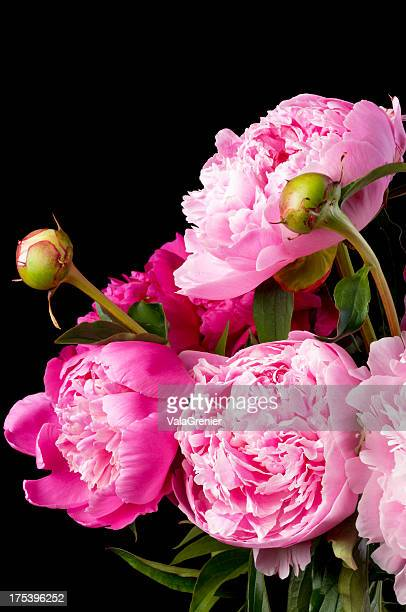 Pink peonies in bouquet on black.