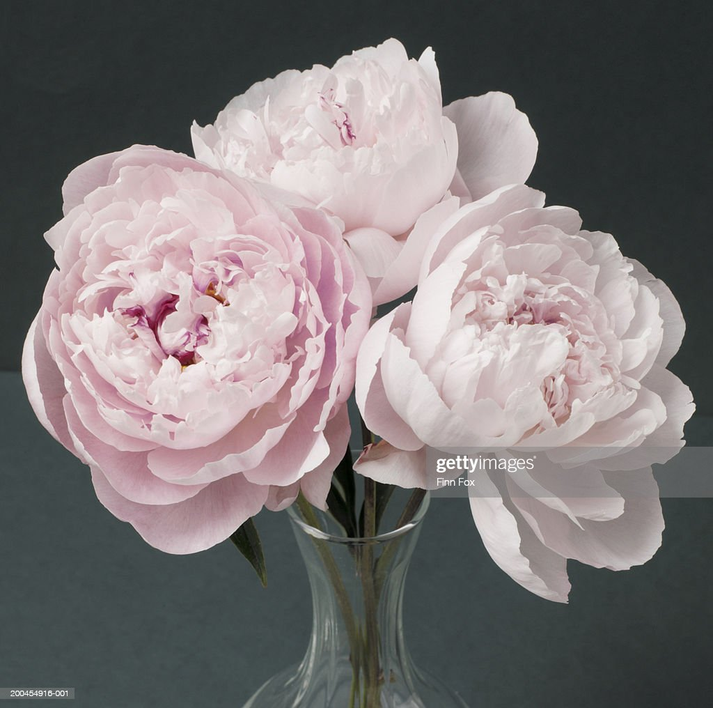 Pink peonies (Paeonia sp.) in vase, close-up : Stock Photo