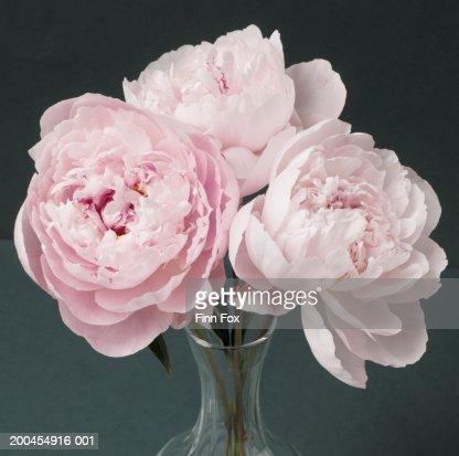 Pink peonies (Paeonia sp.) in vase, close-up : Stock Photo