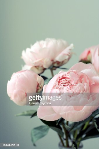 Pink peonies on light green background