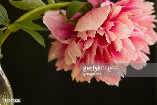 Pink peony flower in a bottle : Stock Photo