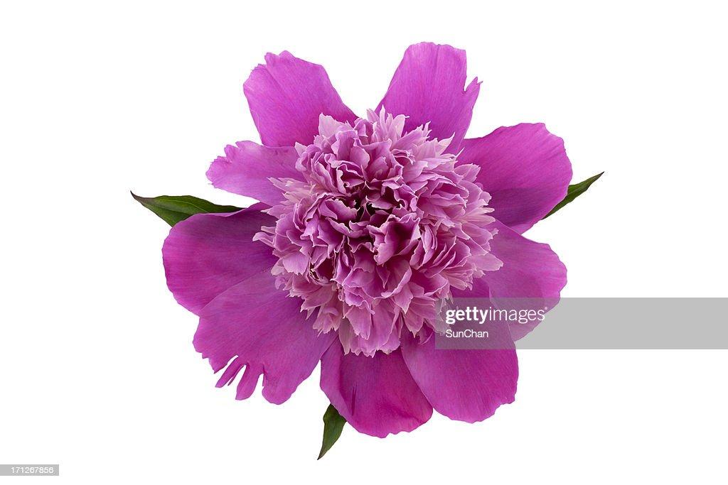 Pink Peony flower : Stock Photo