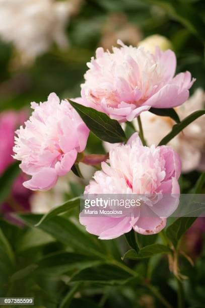 Pink Peony Flower Trio in Full Bloom