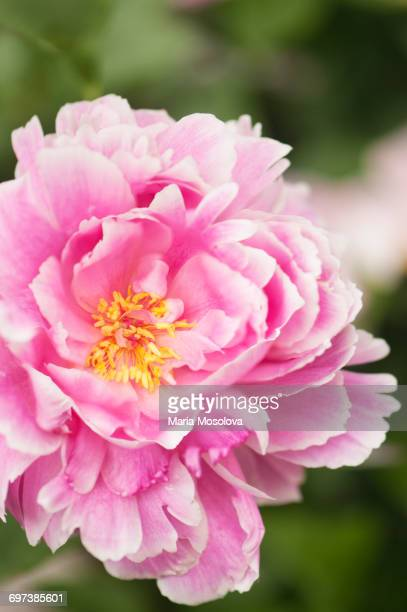 Pink Peony Flower with Yellow Stamens