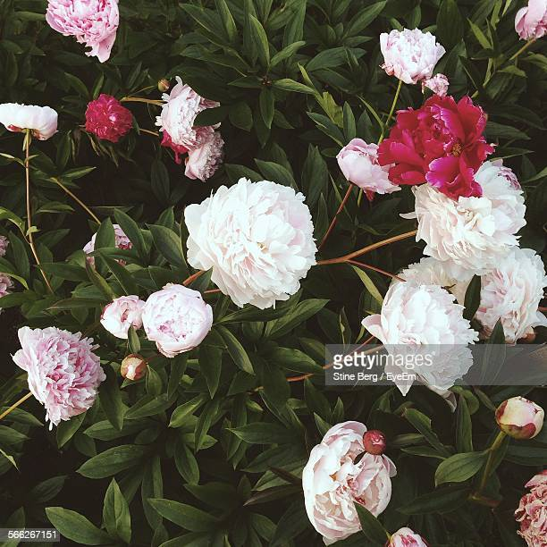 Pink Peony Flowers Blooming Outdoors