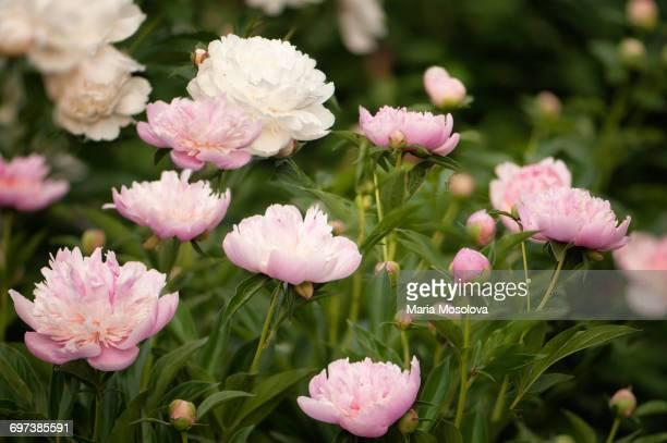 Pink Peony Flowers in Full Bloom