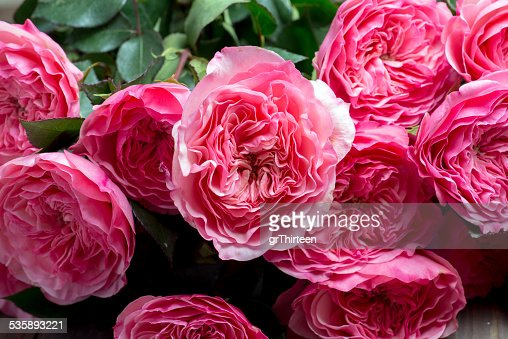 pink peony flowers : Stock Photo