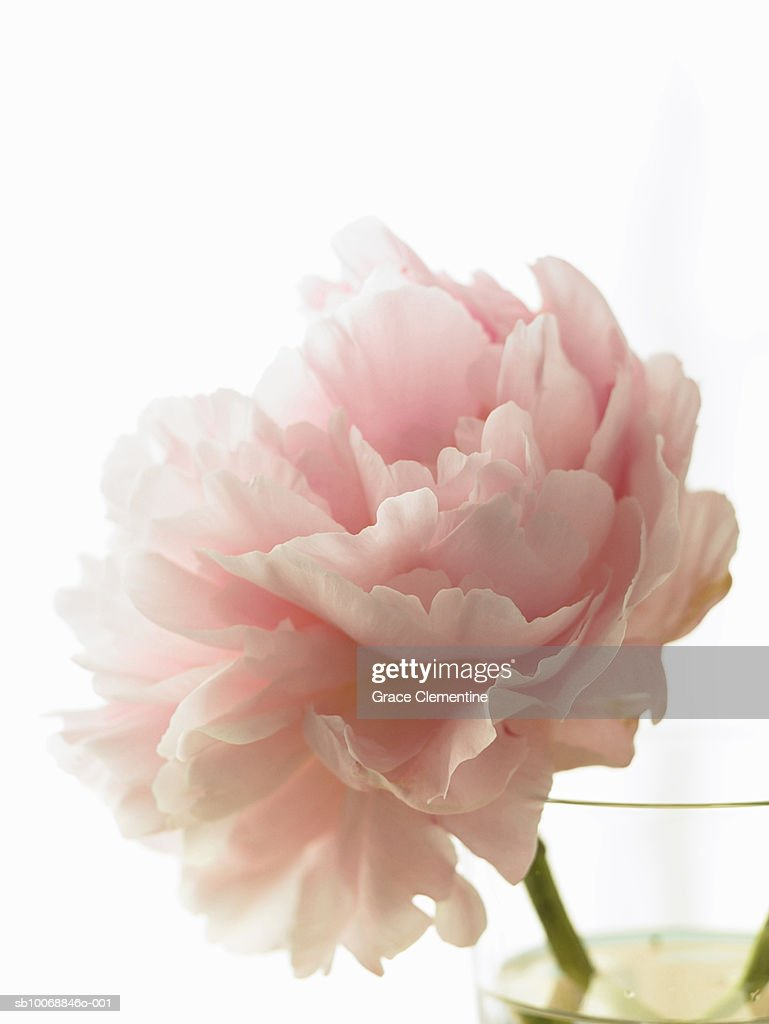Pink peony (Paeonia lactiflora) in vase against white background