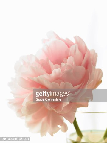 Pink peony (Paeonia lactiflora) in vase against white background : Stock Photo
