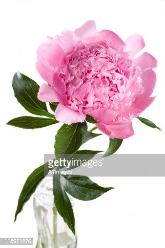 Pink peony  'Mons. Jules Elie'  (Paeonia lactiflora)