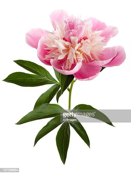 Pink peony on white background (Paeonia lactiflora)