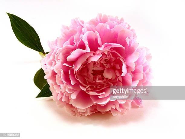 Rose pivoine