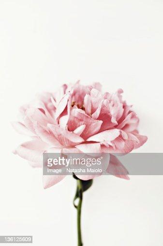 Pink peony