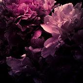 Pink Peony, Paeonia Lactiflora