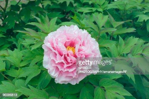 Pink peony : Stock Photo