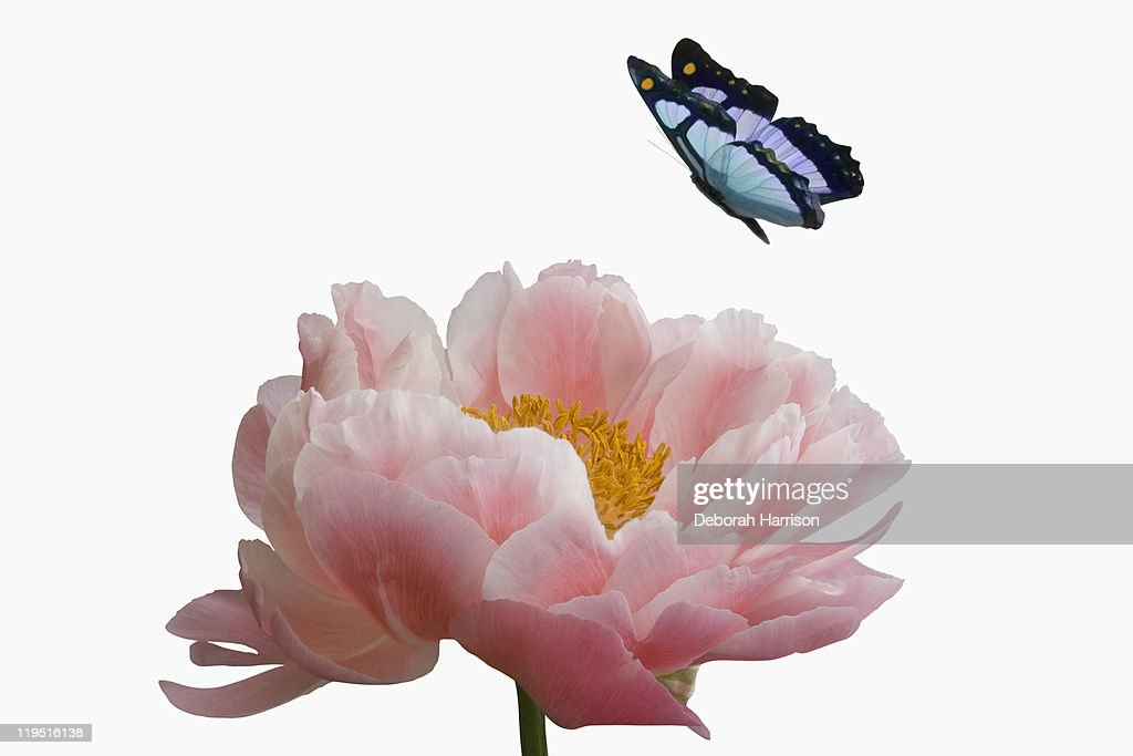 Pink peony with butterfly : Stock Photo