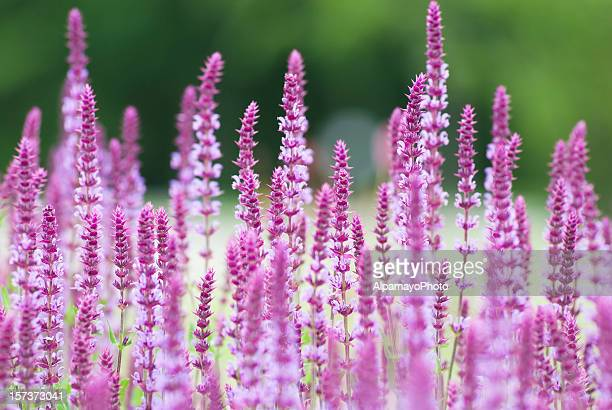 Pink perennial sage on blurred green background