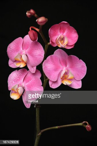 pink phalaenopsis orchid on black : Stock Photo