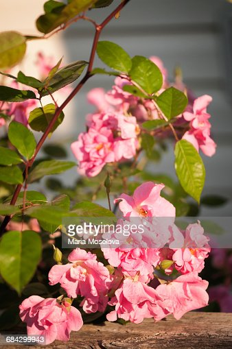 Pink Polyantha Rose Climbing Pinkie on Deck