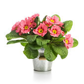Pink primroses in small metal bucket on white background