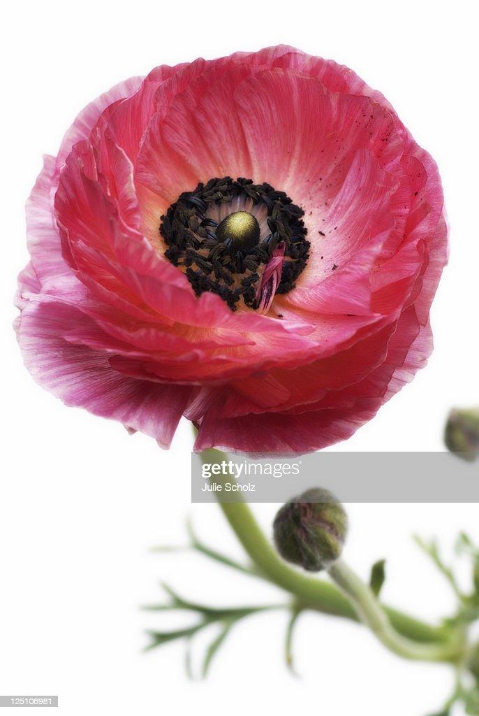 Pink ranunculus flower : Stock Photo