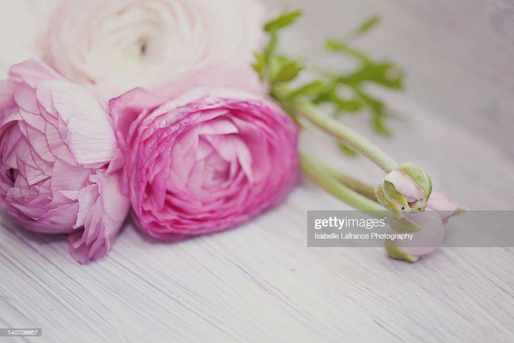 Pink ranunculus flowers on white wooden shelf : Stock Photo
