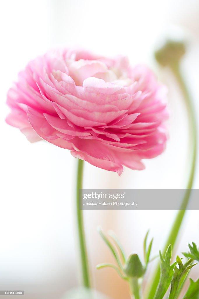 Pink ranunculus : Stock Photo