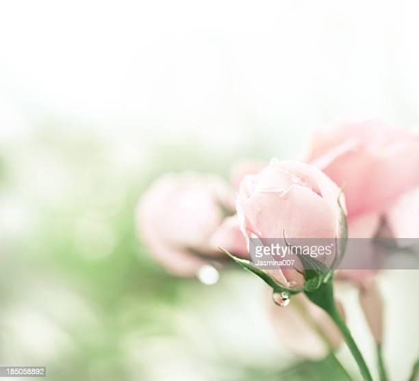 rose rose après la pluie